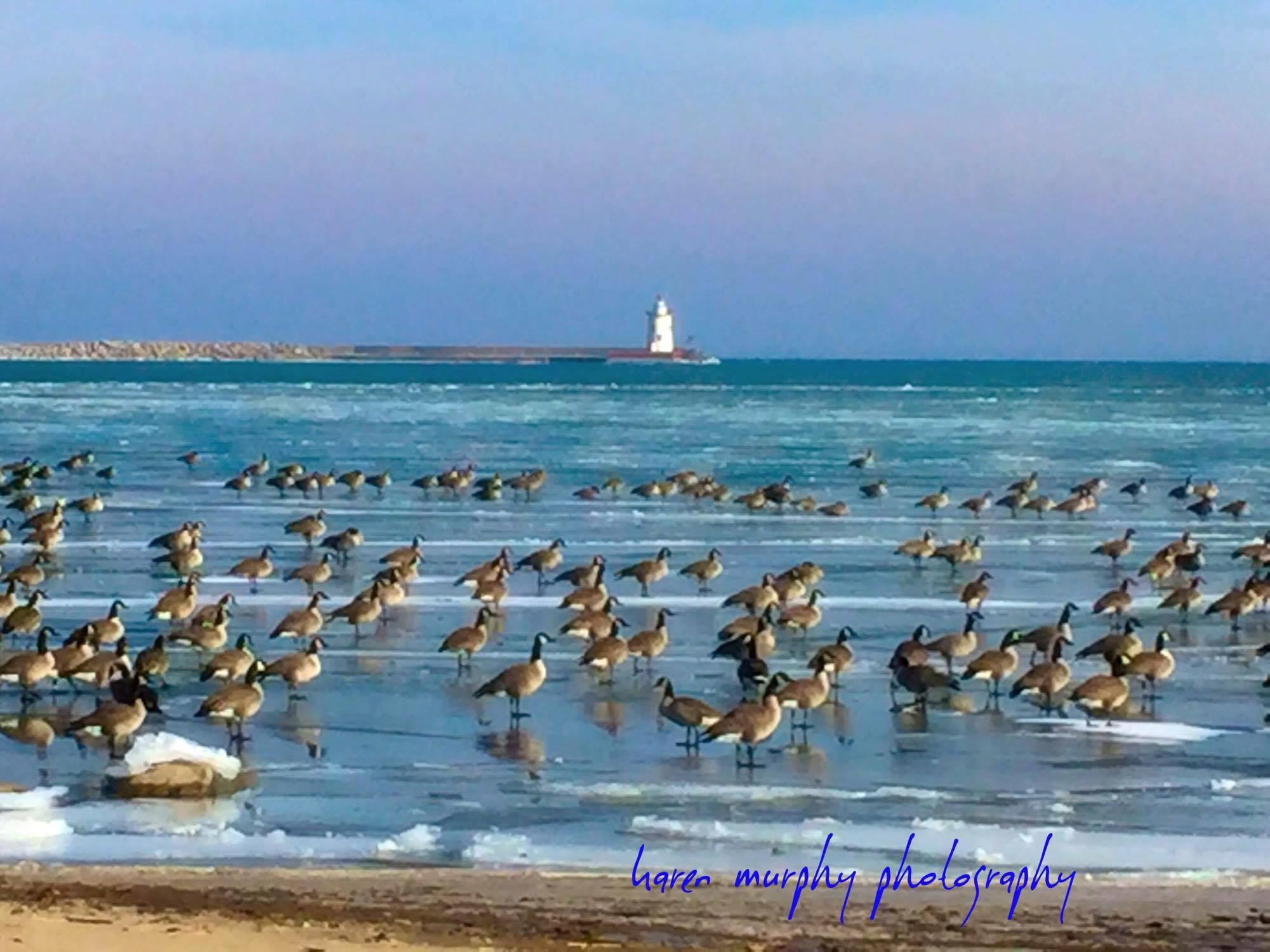 These geese are sitting in front of Harbor Beach Lighthouse, waiting for those spring breezes. Photo captured by Karen Murphy Photography.
