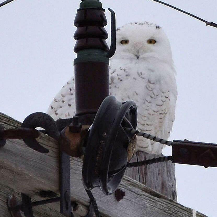 Snow owl spotted this winter by Karen Murphy, this guy had his 15 minutes of fame in the local news media.