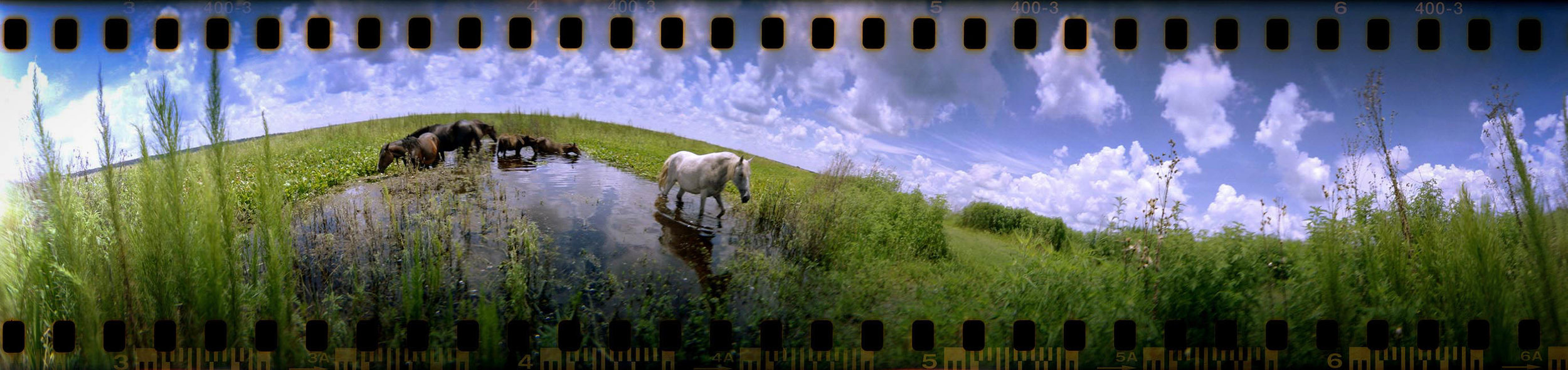 horses on payne's prairie