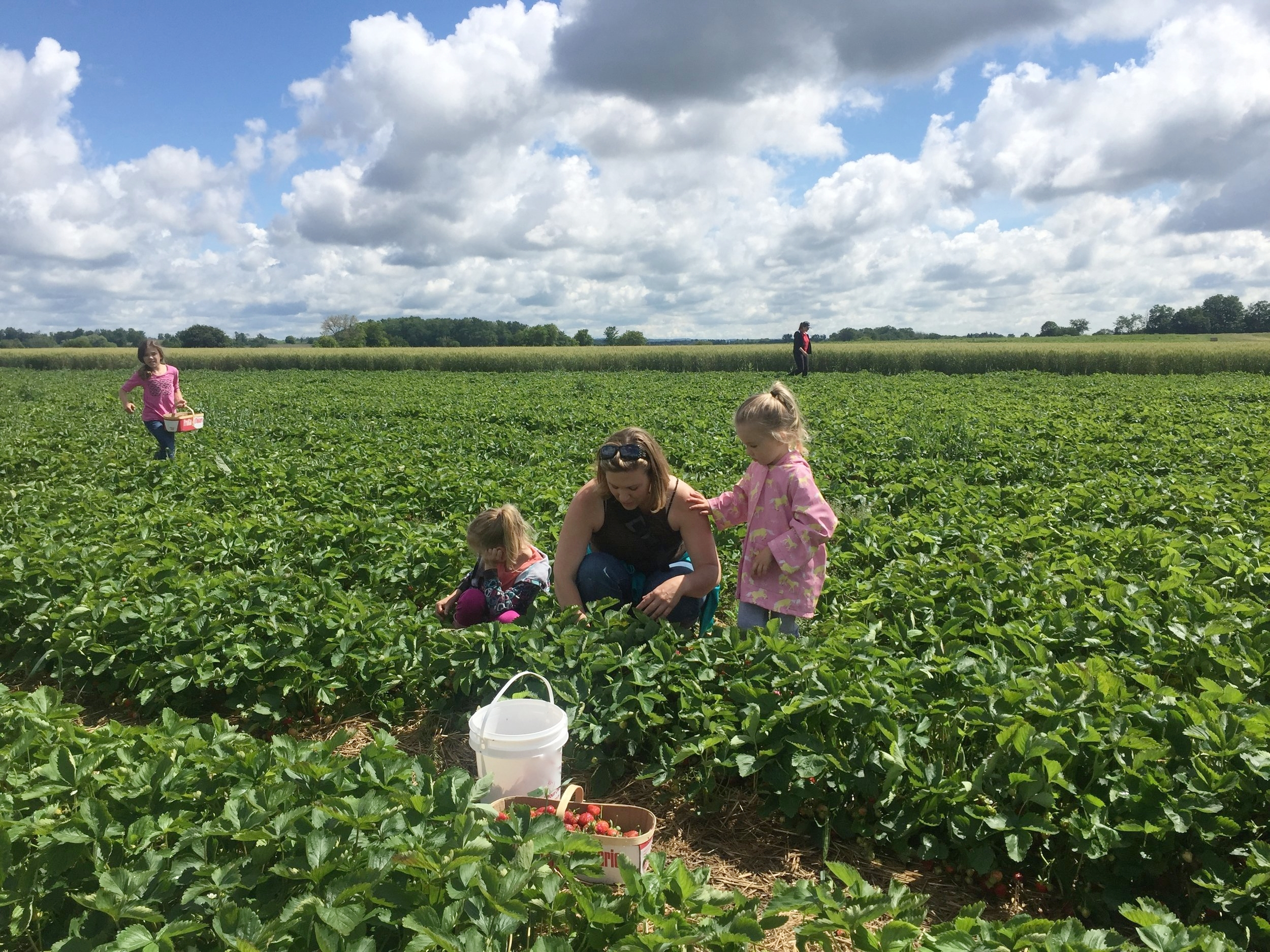 Create your own family traditions in our pick your own strawberry fields.