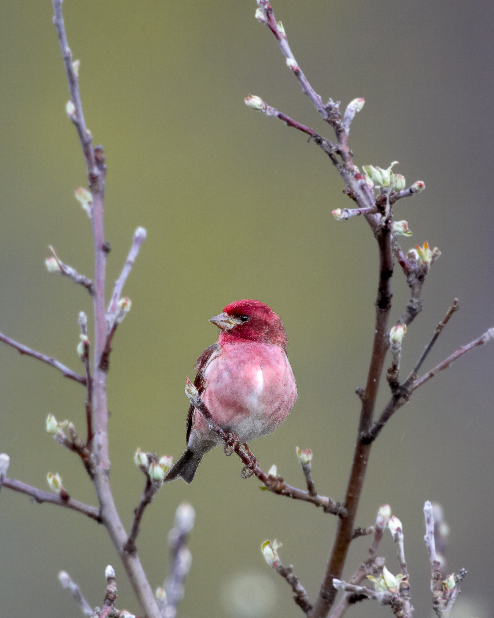 Purple Finch in Tree.jpg