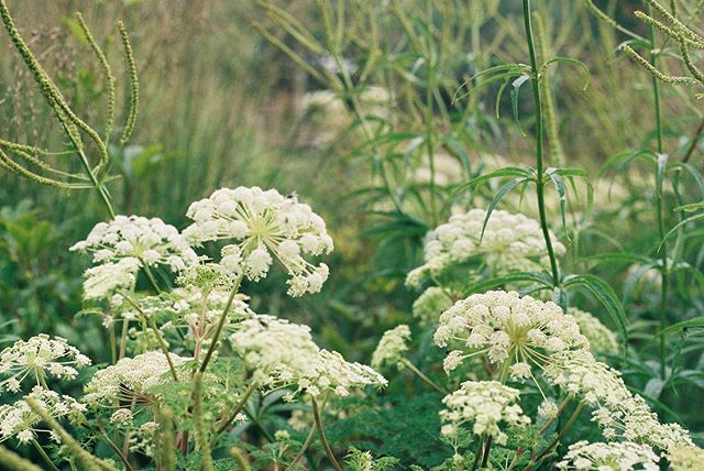 Selinum wallichianum and Veronicastrum combination from a garden visit to @thenewtinsomerset last month. Late summer umbellifer joy. • • #35mm #analogue #veronicastrum #selinum #thenewt