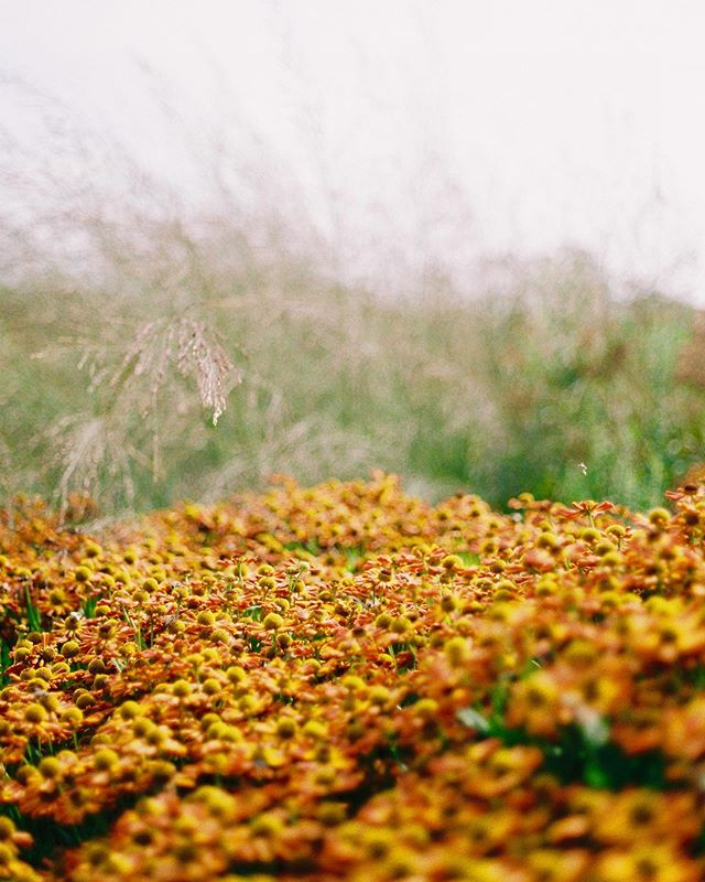 Fiery carpet of helenium from a visit to @hauserwirth late last month. • • #35mm #analogue #helenium #prarie #film
