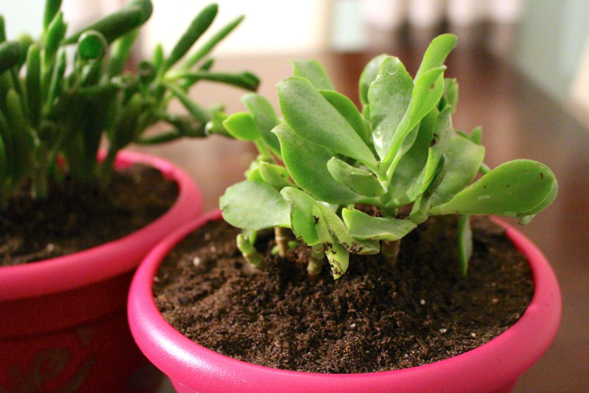 vdaysucculents