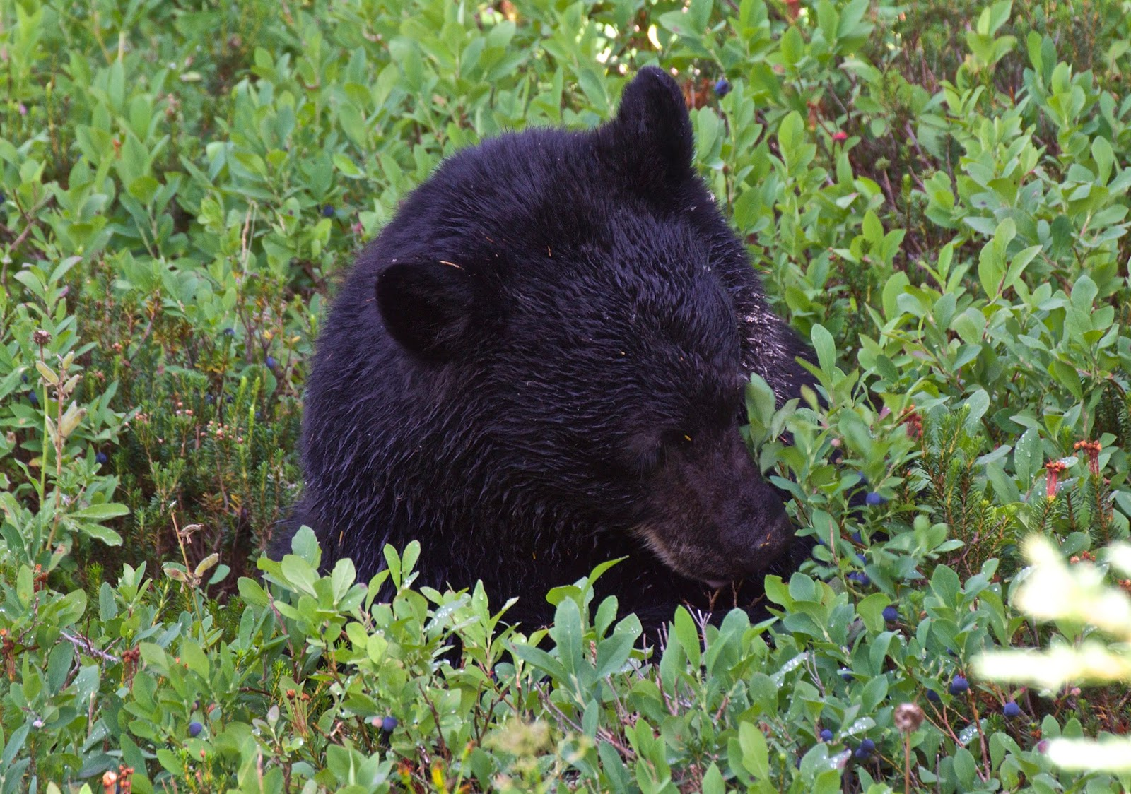 Black Bear, Mt Rainier National Park, Washington