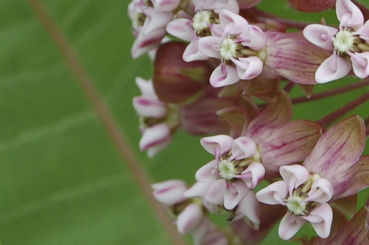 milkweed flower essence