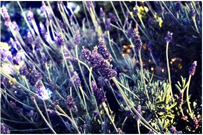 lavender plant ally