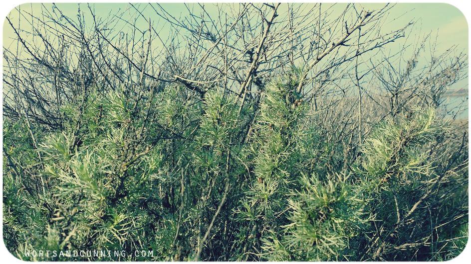 california mugwort