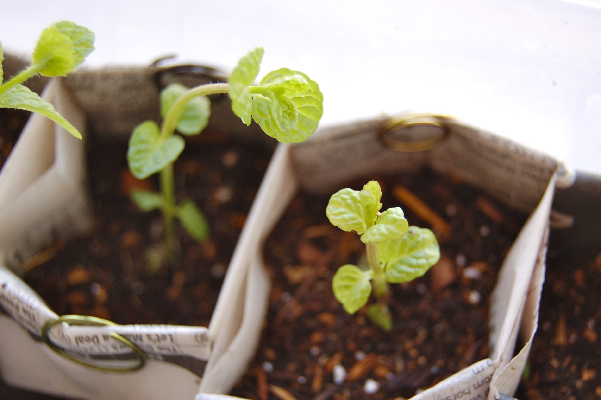 Happy Peppermint seedlings chatting it up!
