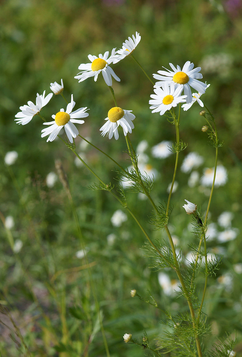 Chamomile by kallerna via   wikipedia.org