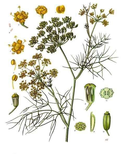 Fennel from  Koehler's Medicinal-plants (1887)