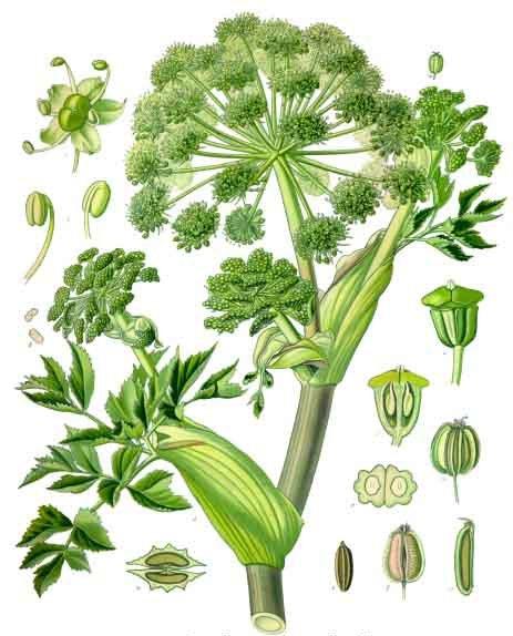 Angelica archangelica  from  Franz Eugen Köhler's  Köhler's Medizinal-Pflanzen
