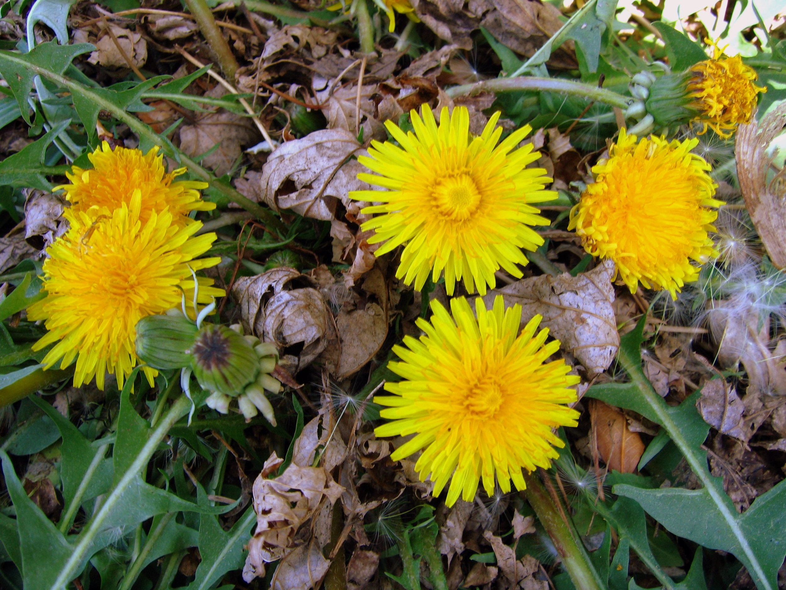 Dandelion (Taraxacum officinale) by  Robert Engelhardt