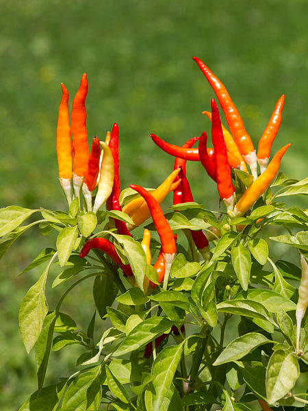 Cayenne via  wikipedia