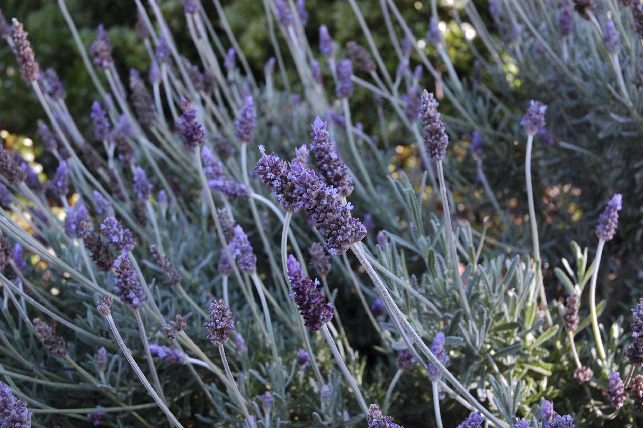 Lavender flowers by Alexis J. Cunningfolk