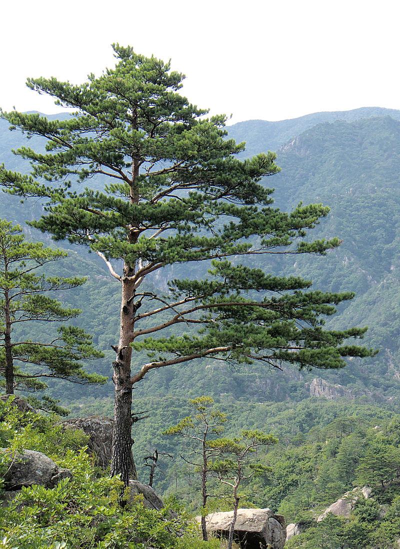 Pinus densiflora  via  wikipedia
