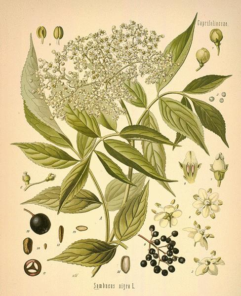 from  botanical.com