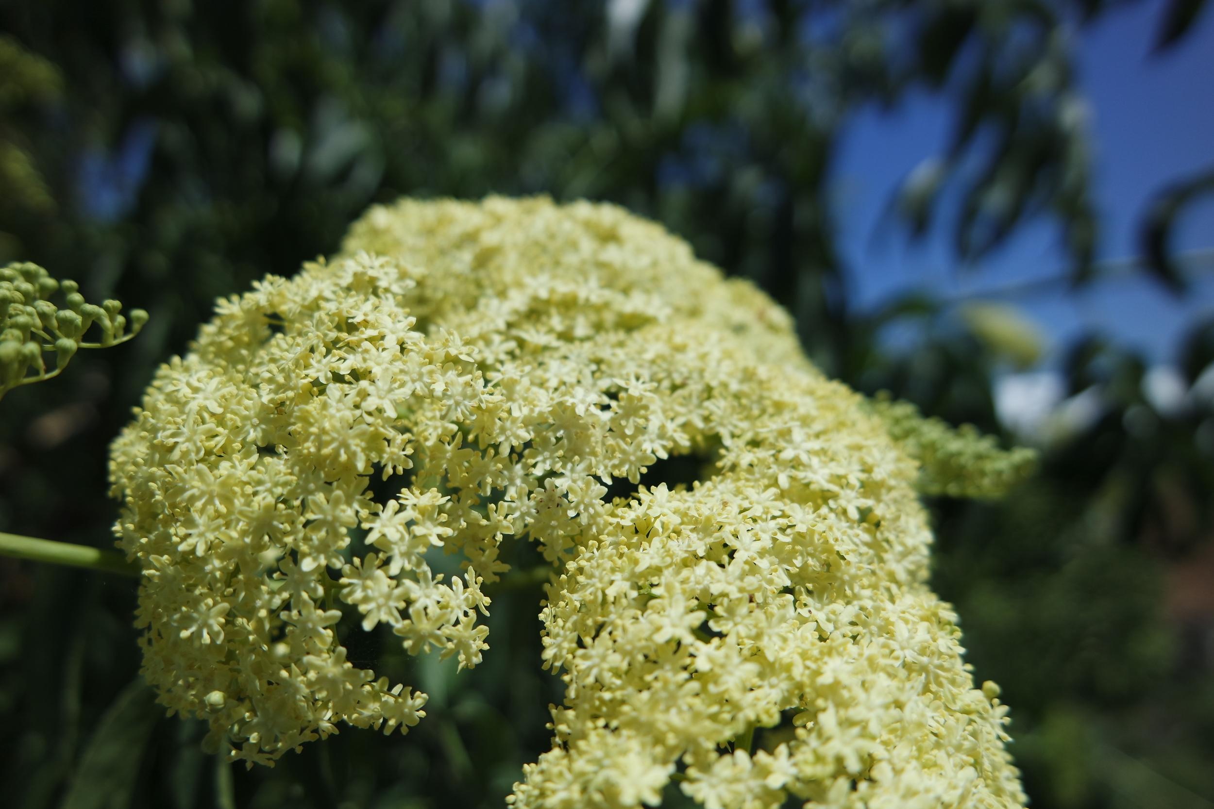 Elder flower by author