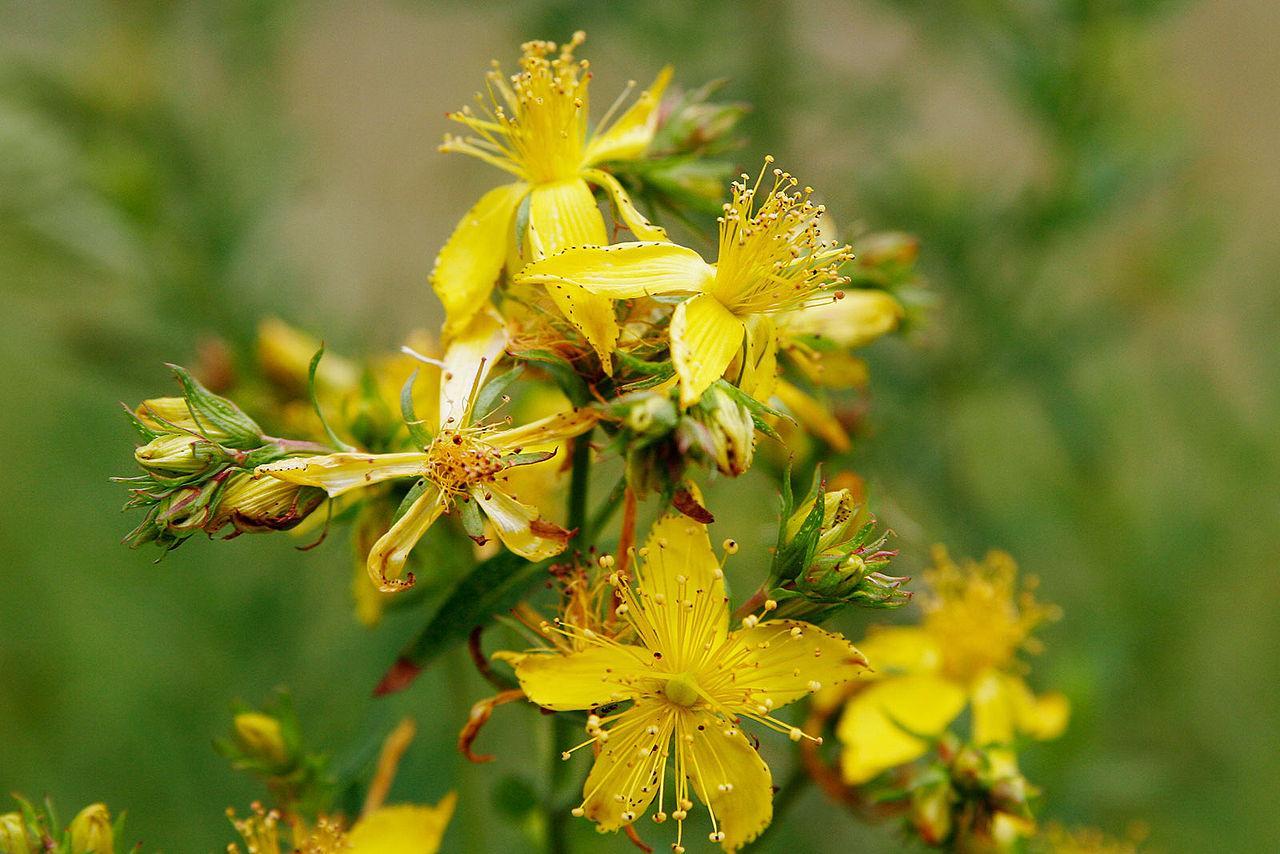 Hypericum perforatum  flowers via  wikipedia