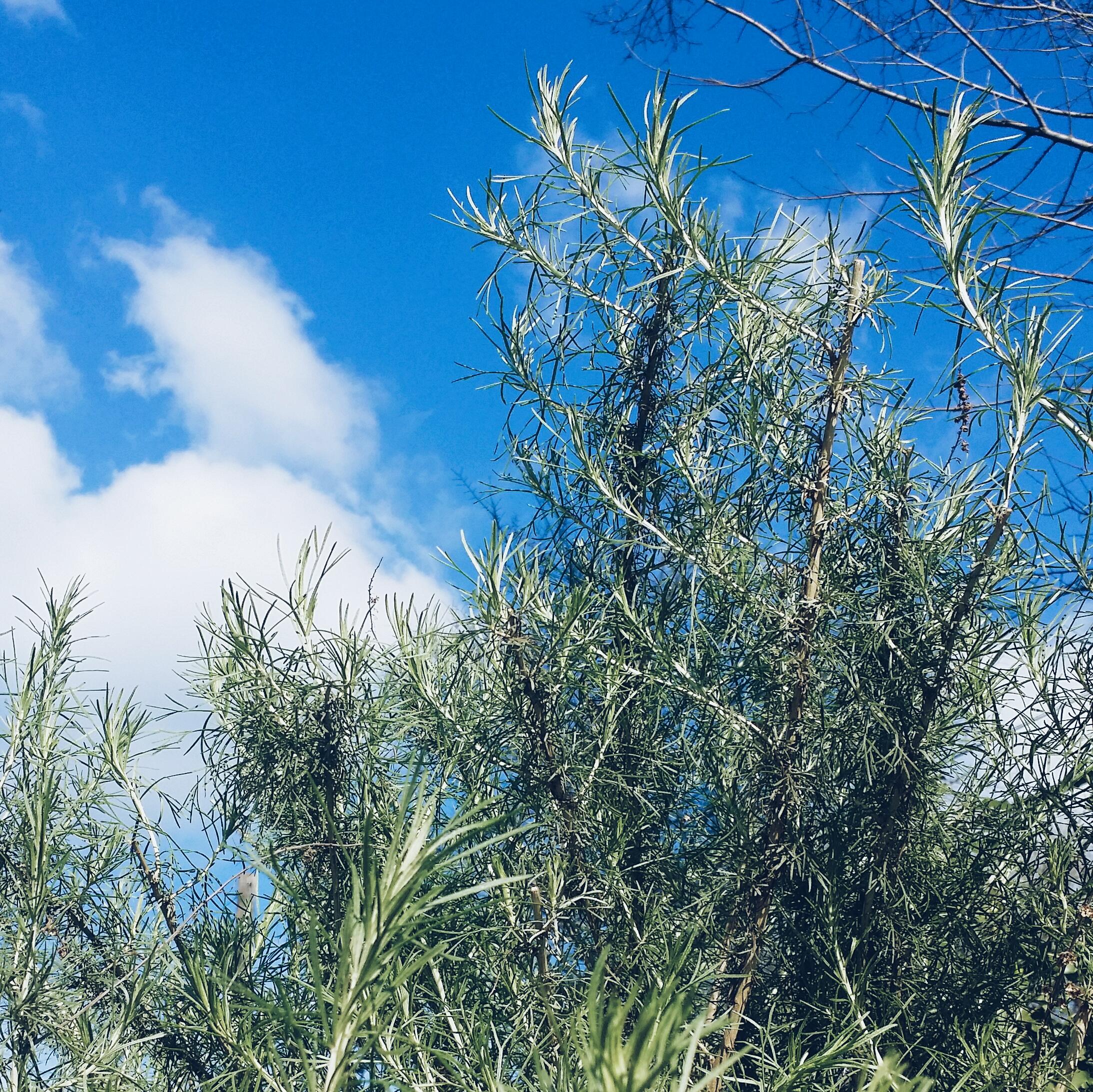 California Mugwort ( Artemisia californica )