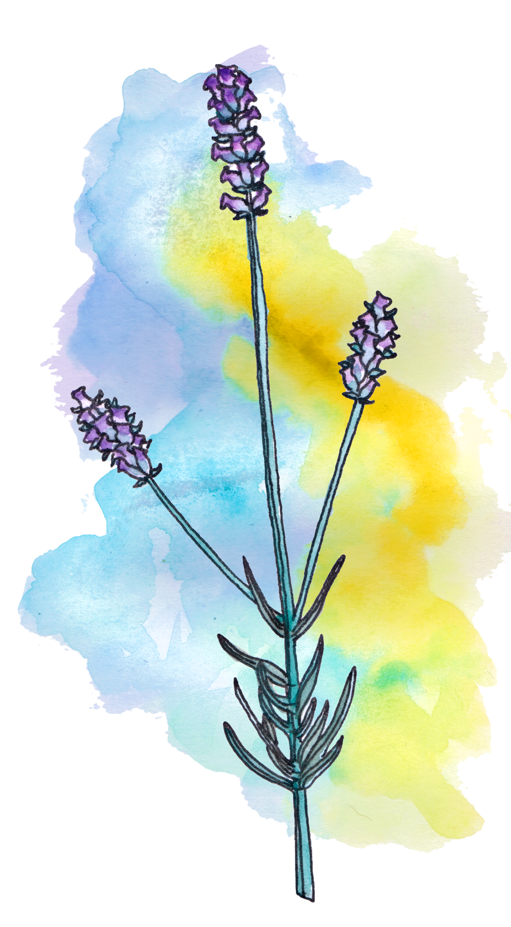 lavender astroherbology astroherbalism