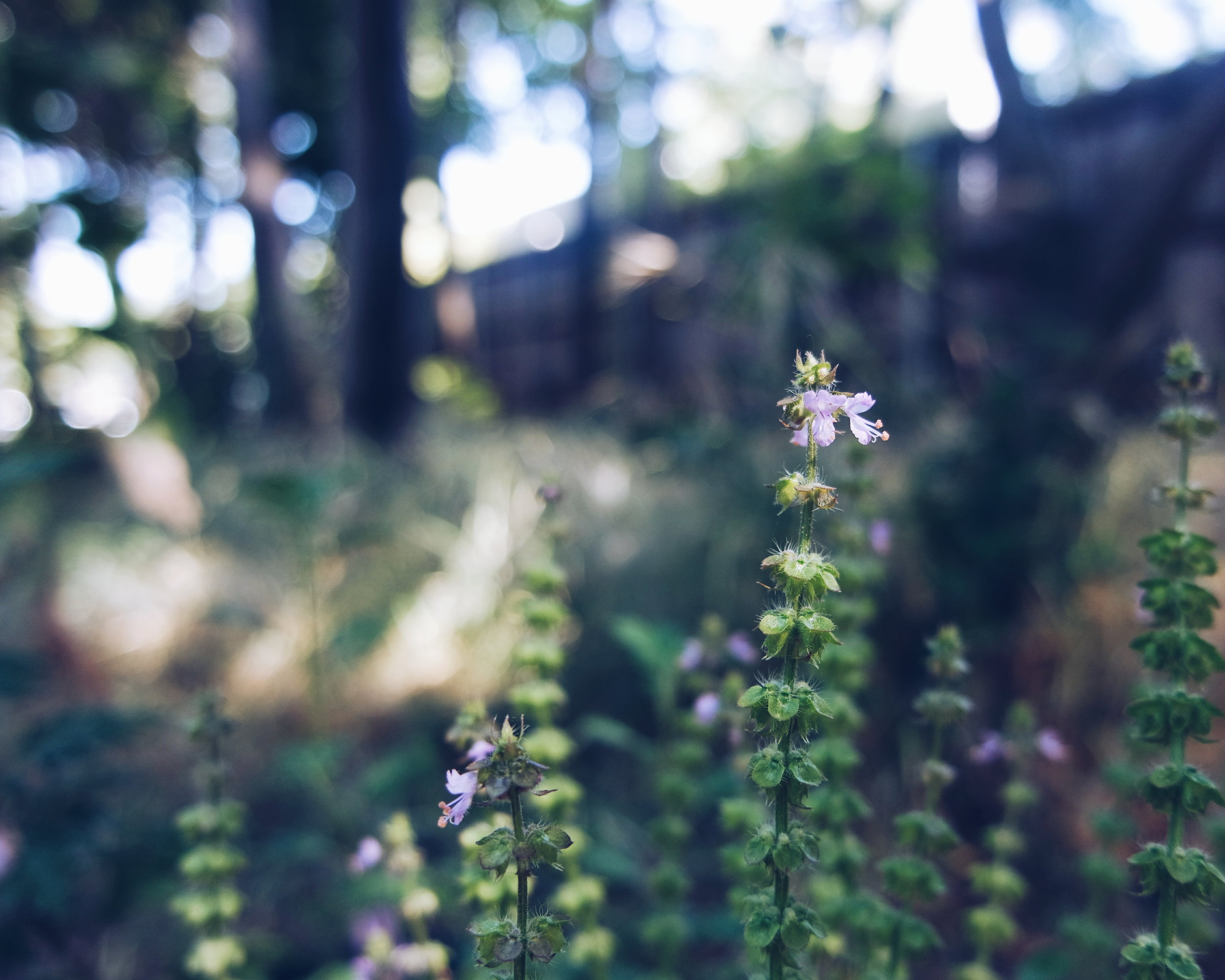 tulsi sacred basil magick medicinal