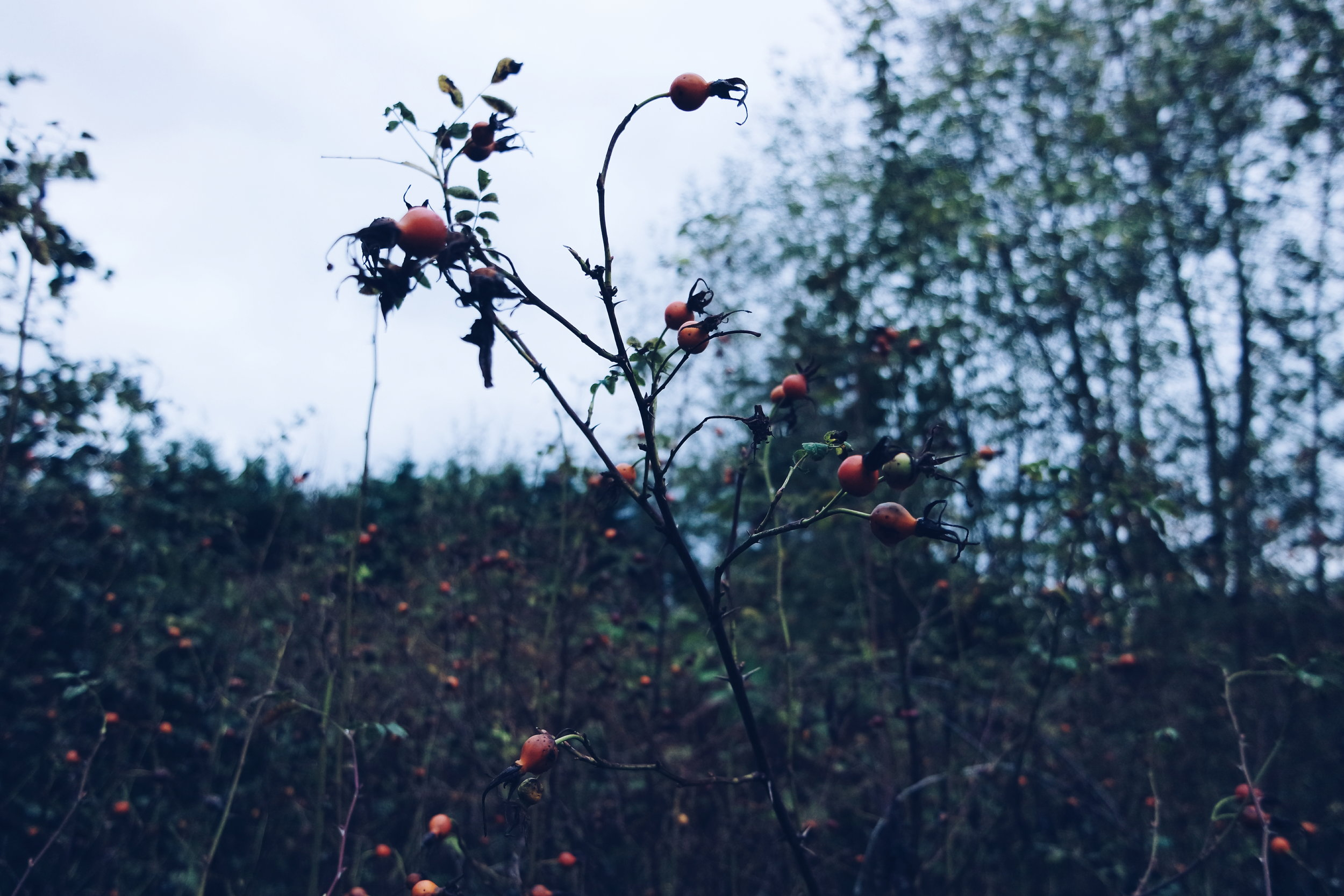 rose hips magick medicinal worts and cunning apothecary