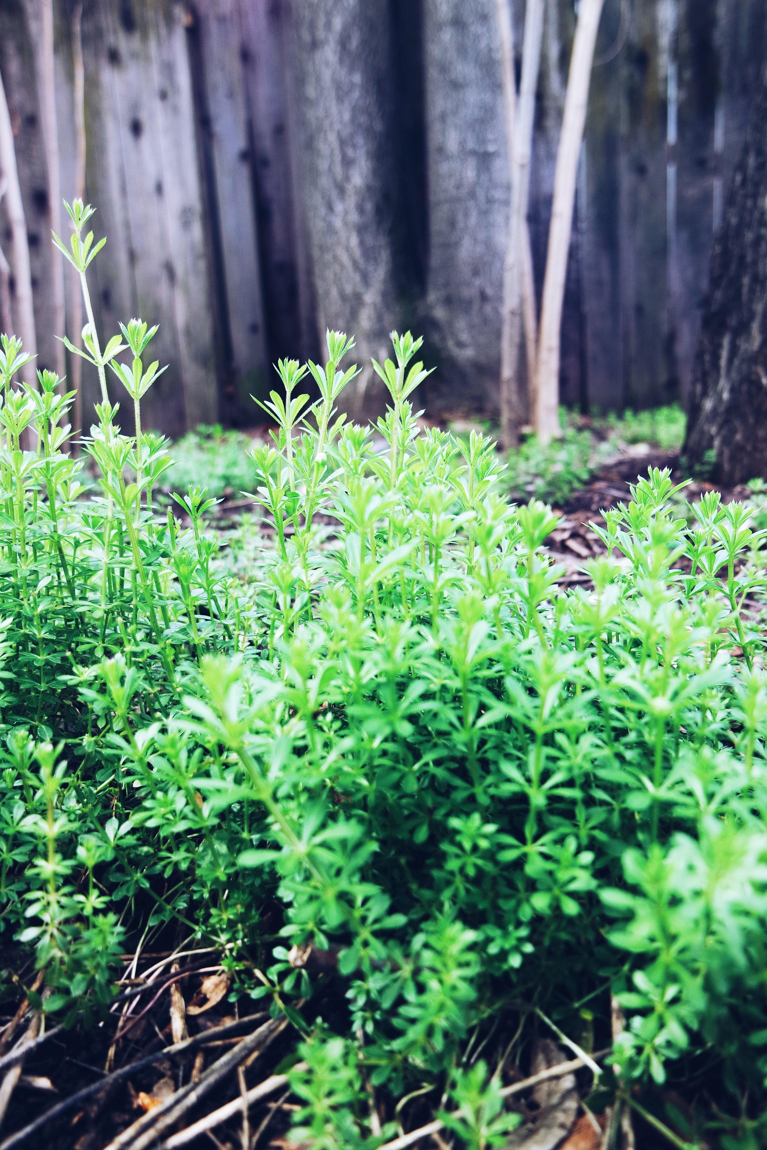 Cleavers ( Galium aparine )