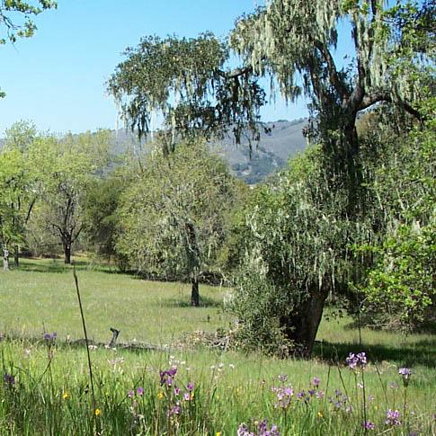 wildflowers in canopy of oaks.jpg