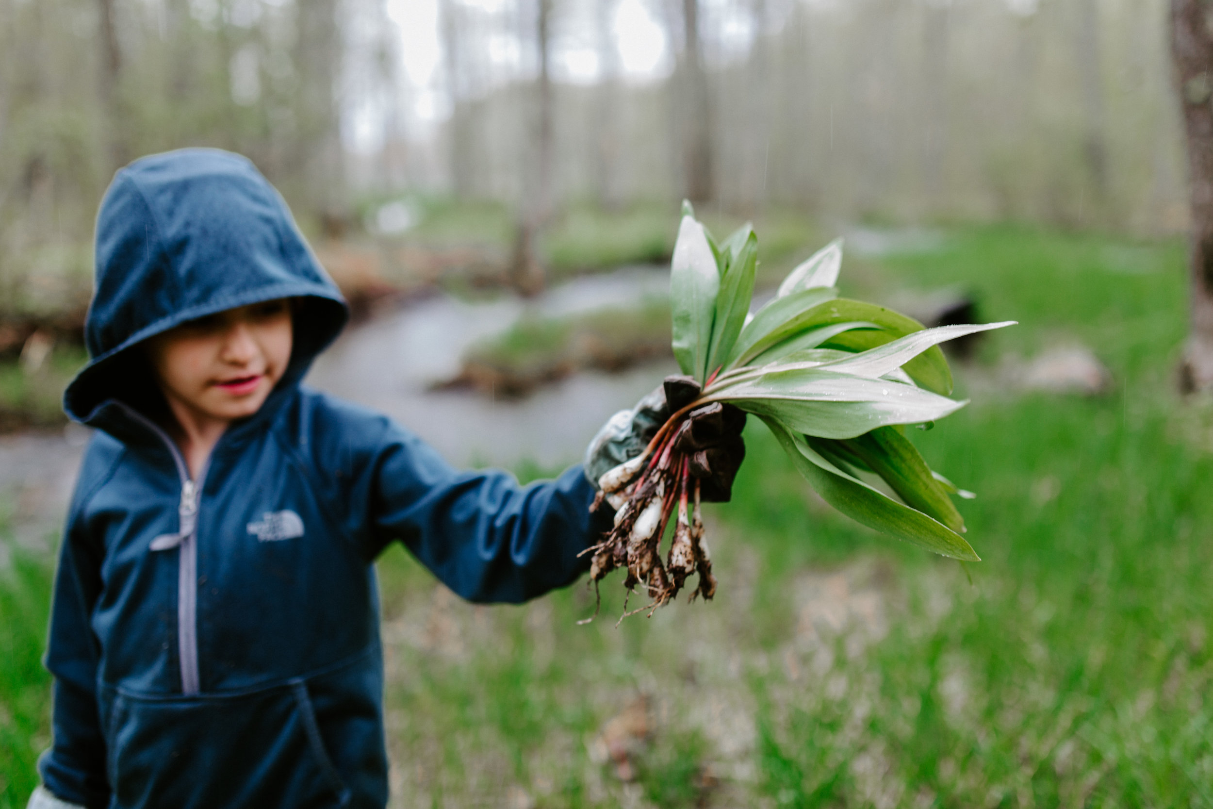 Harvesting wild leeks, otherwise known as ramps.