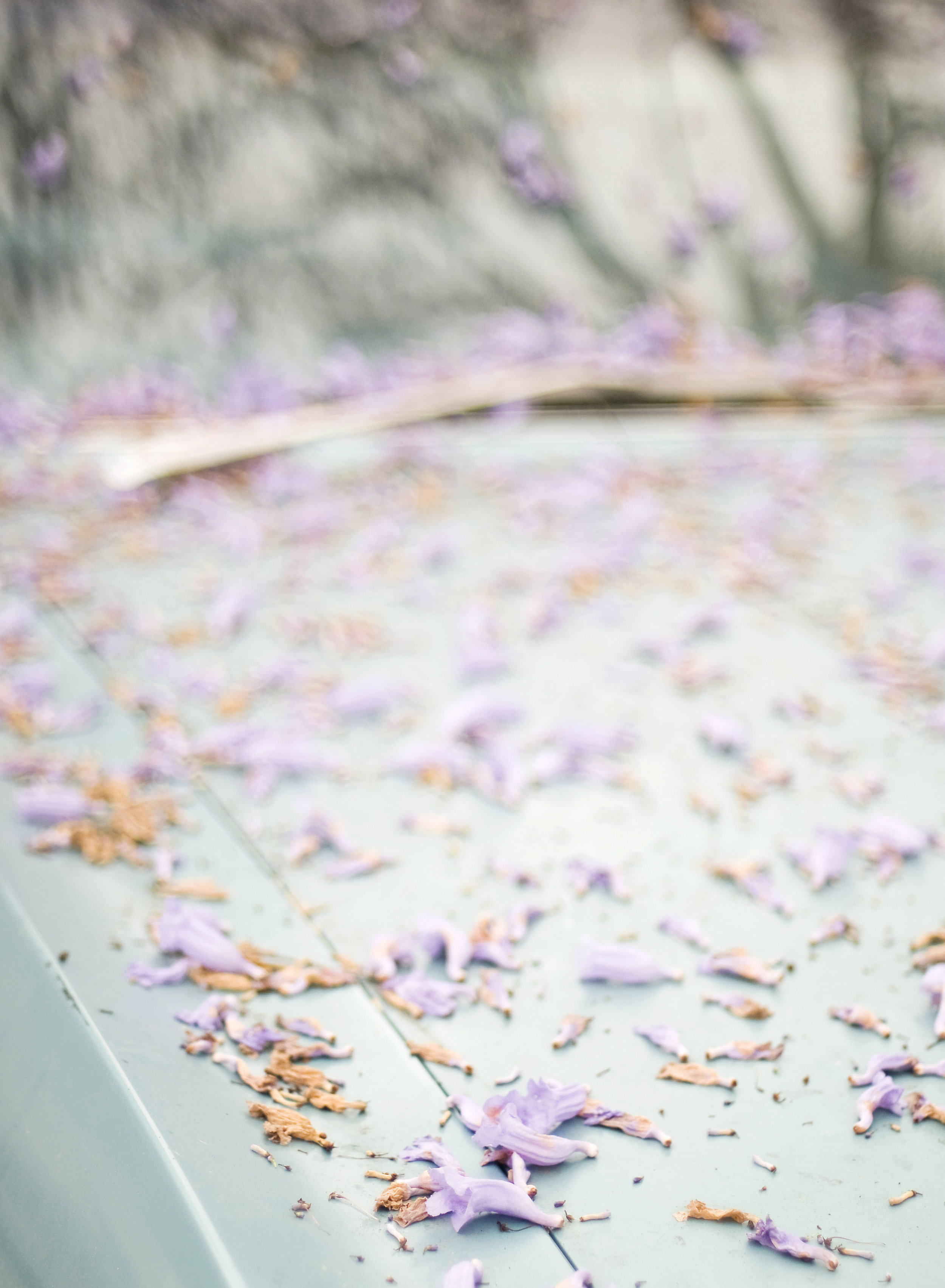 theglowsb.jacarandaflowers.jpg