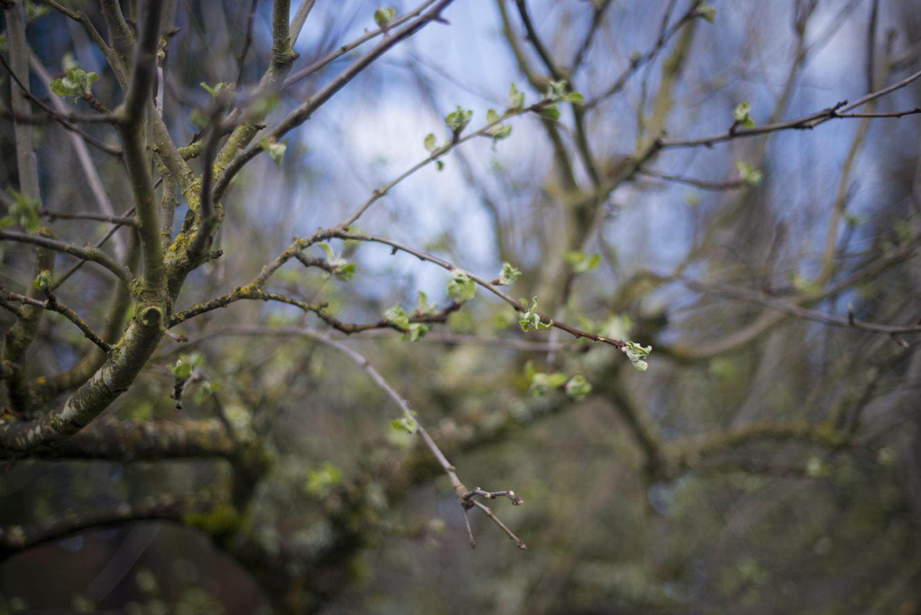 buds in tree.jpg