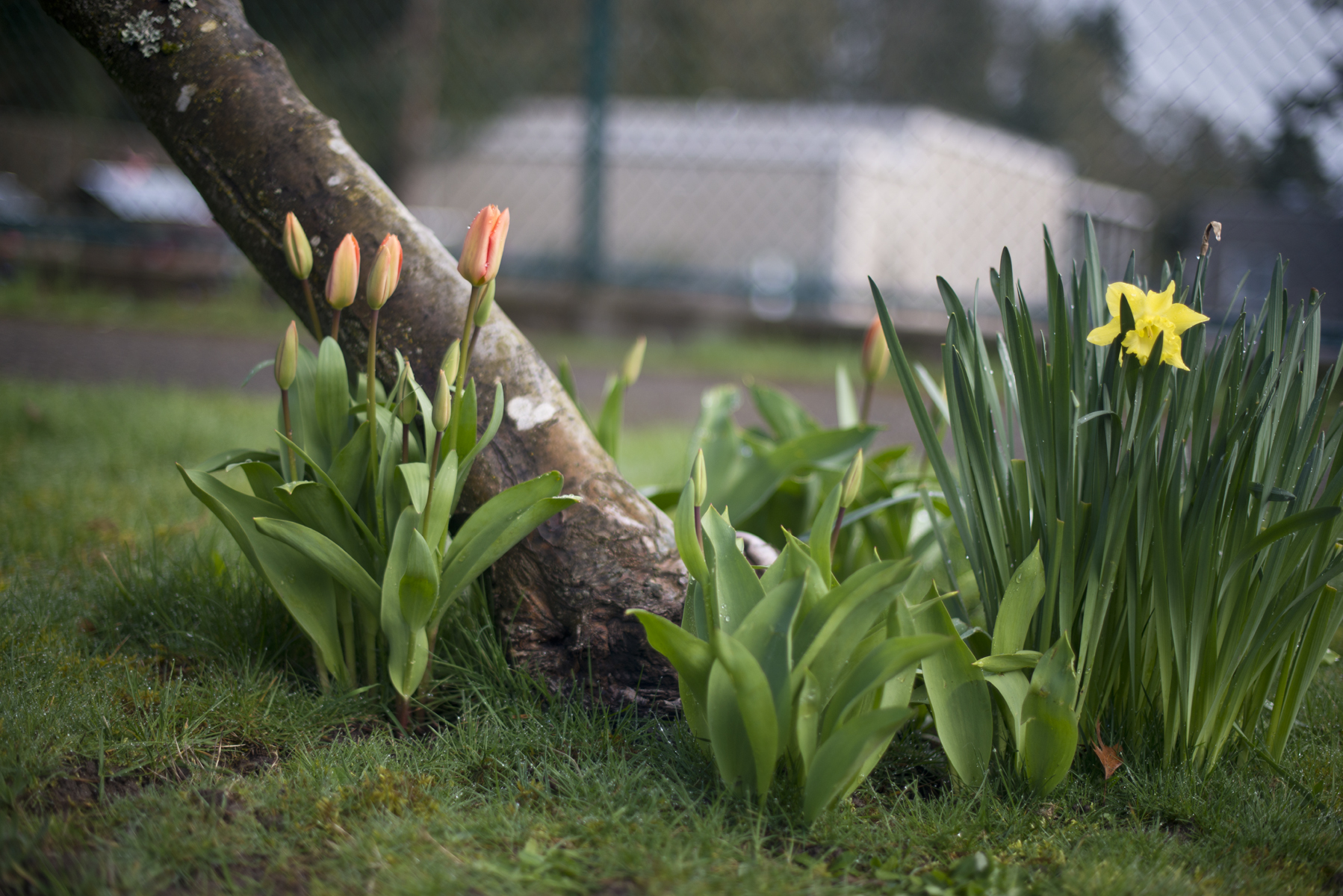 tulips and daffies.jpg