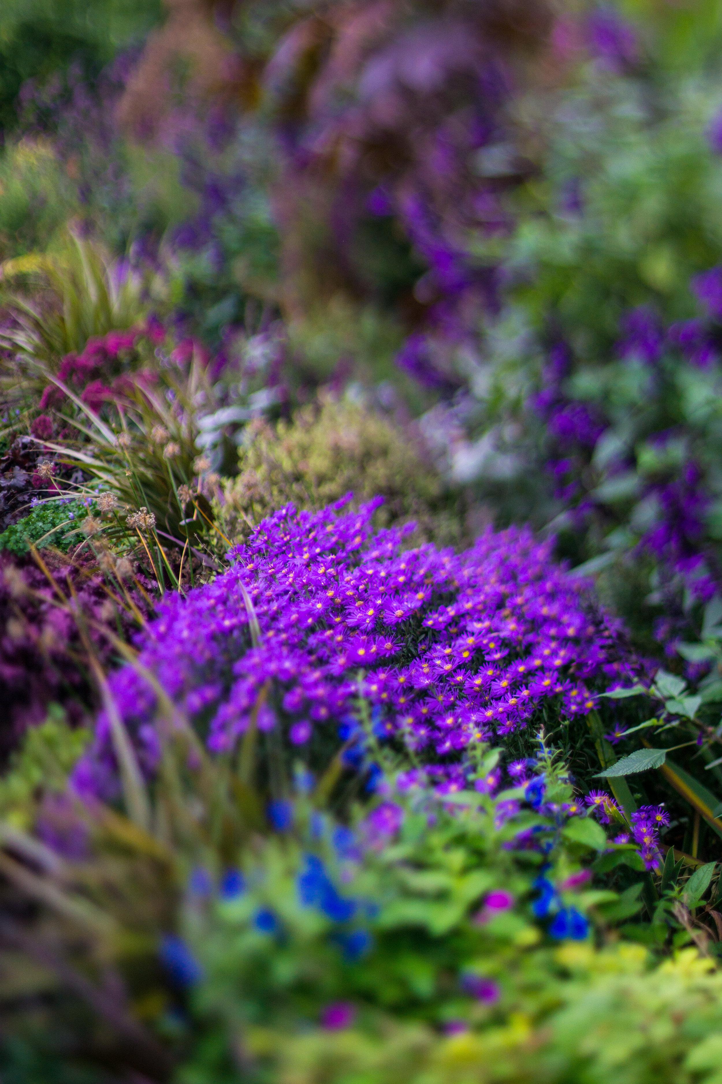 purple-flower-london-regents-park-autumn-01