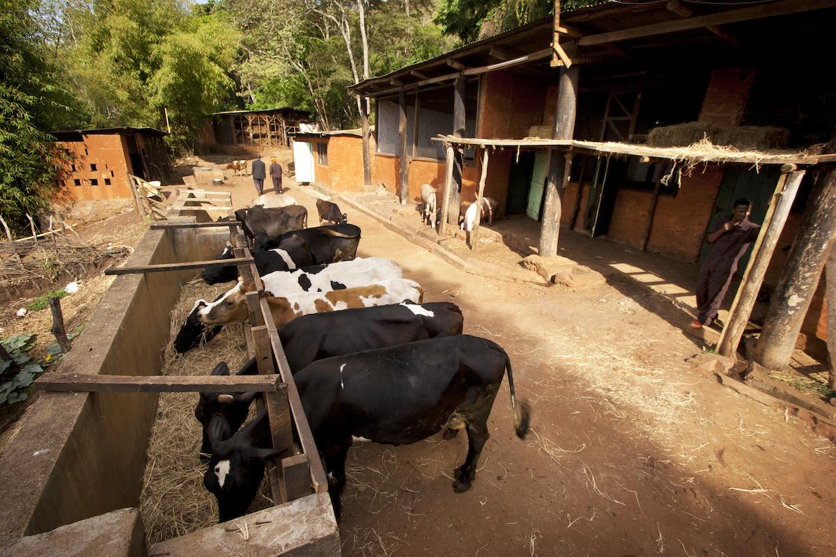 Gibbs_Farm_Tanzania_Safari_Cows_1_Takims_Holidays