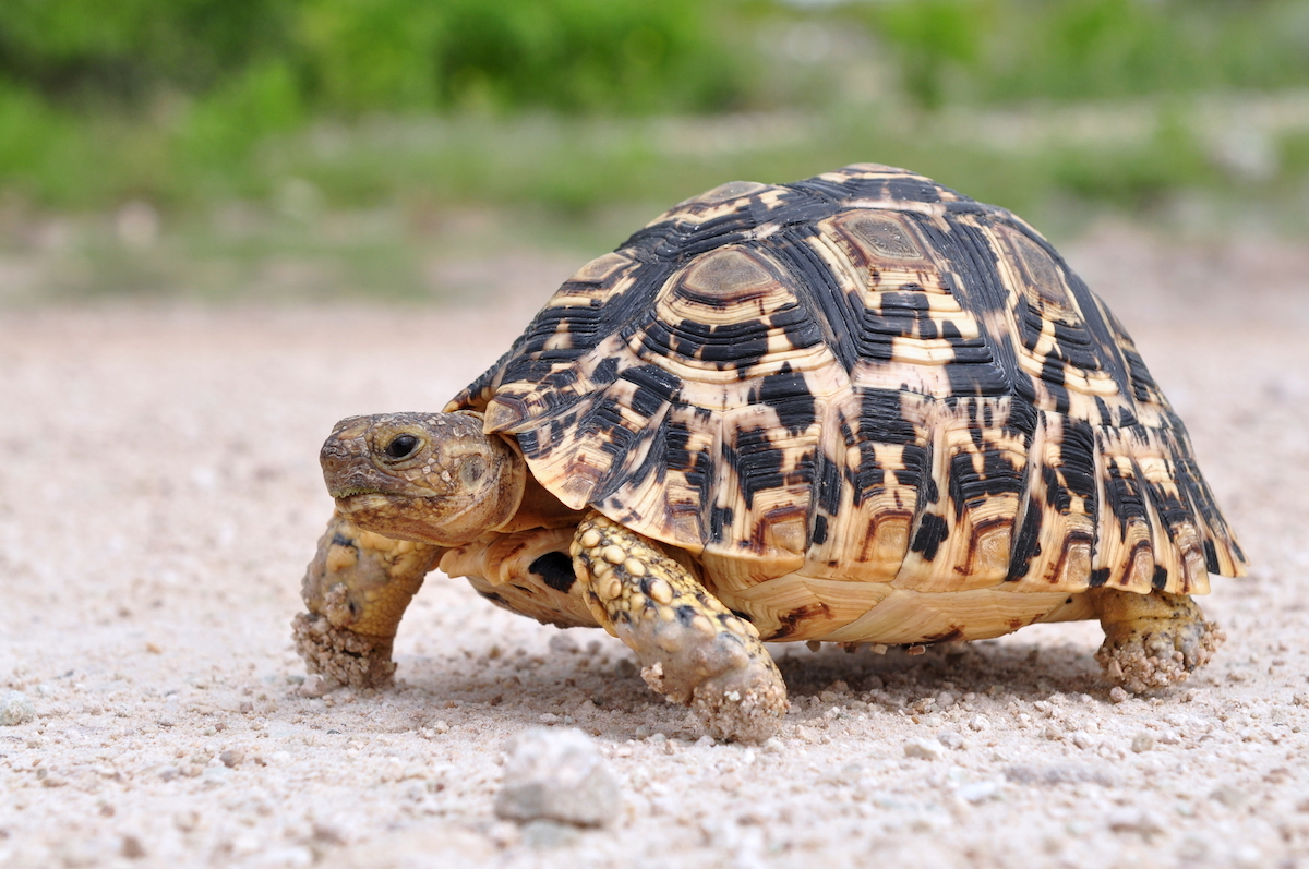 leopard_tortoise_1_takims_holidays_small_little_five.jpg