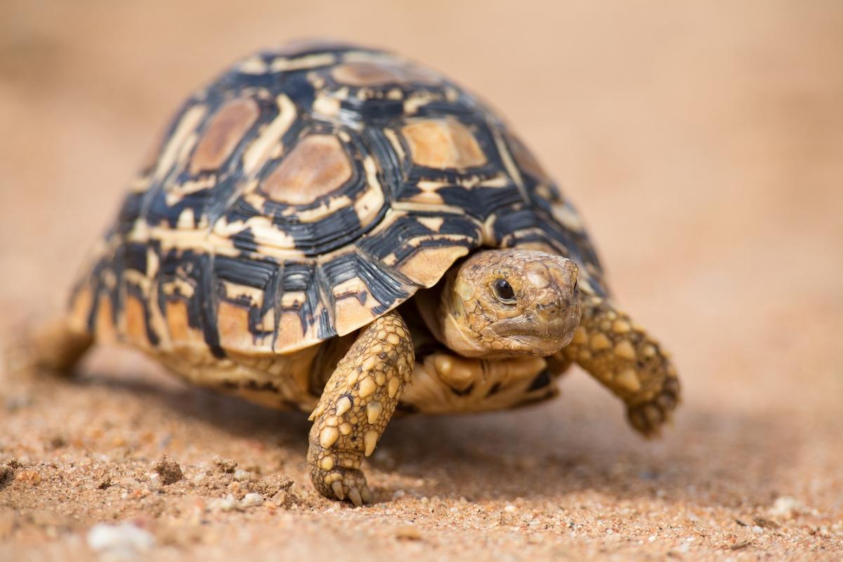leopard_tortoise_2_takims_holidays_small_little_five.jpg