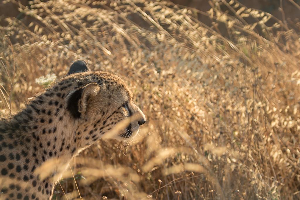 Cheetah observing