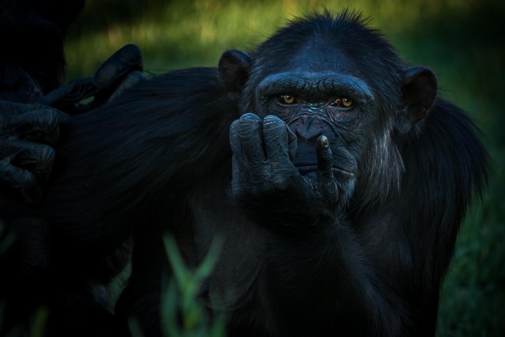 "Chimp as Rodin's ""Thinker"""