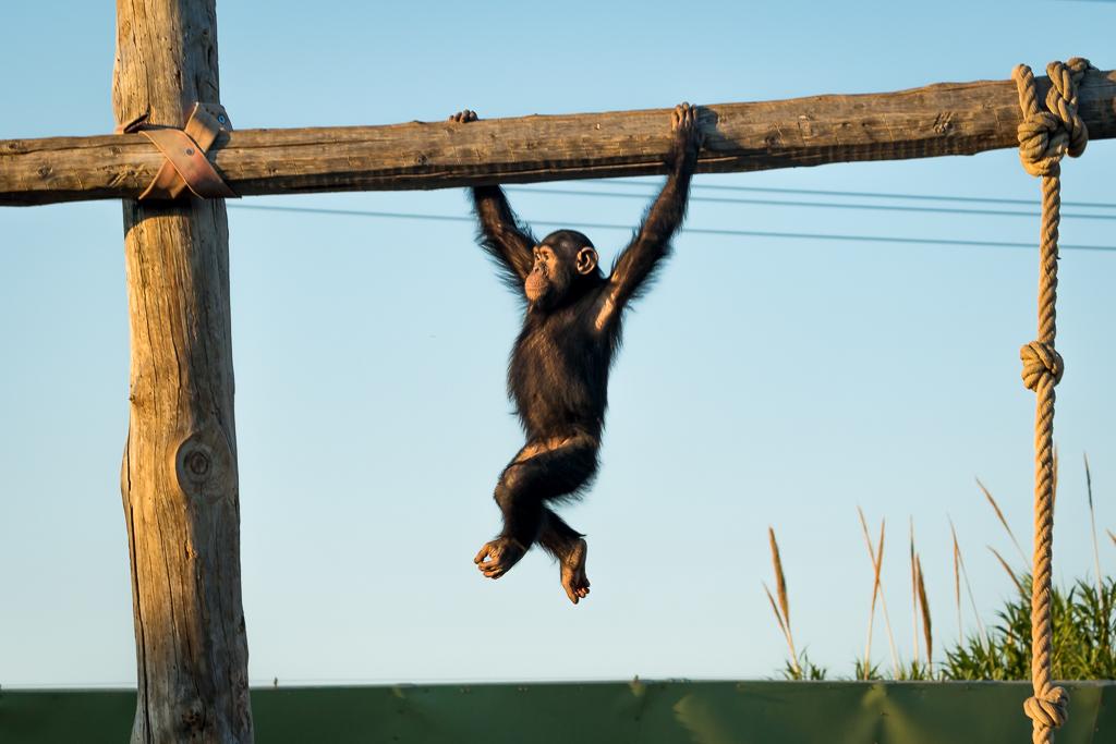 Chimp doing gymnastics-I