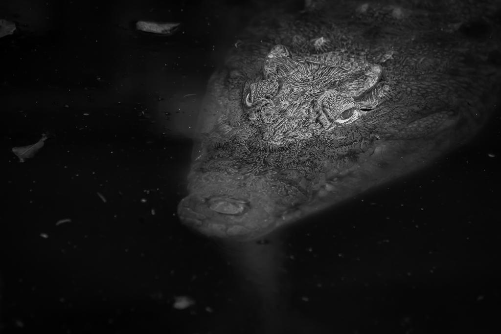 Crocodile in black and white