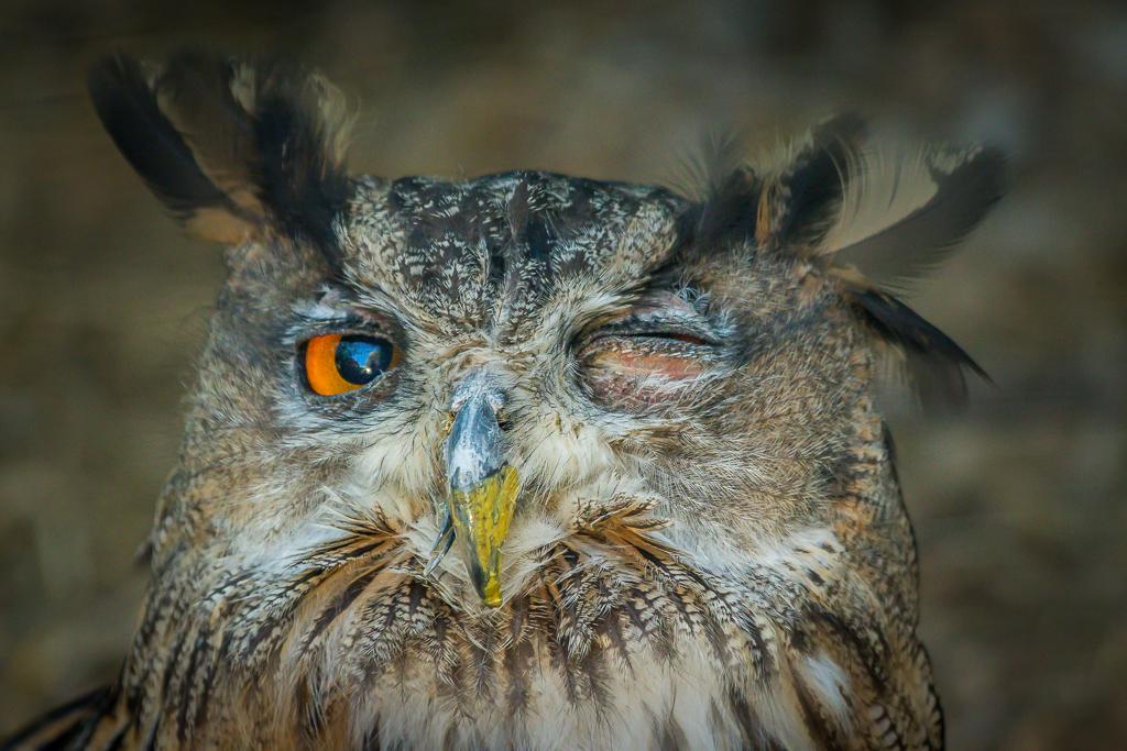 Eagle Owl doing tricks