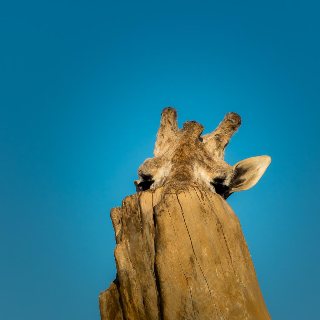 Giraffe playing hide and seek