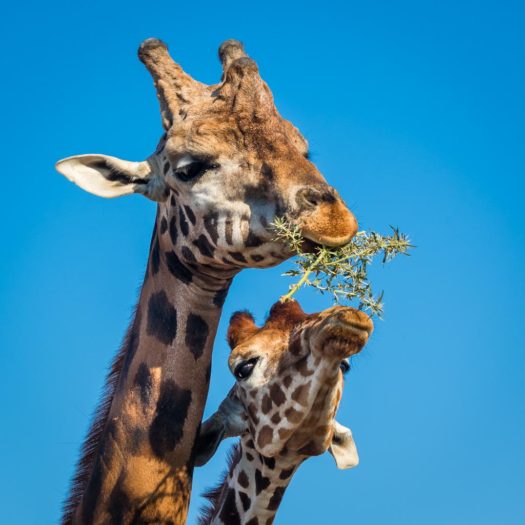 Giraffes at lunch
