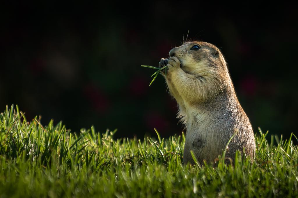 Prairie Dog at lunch