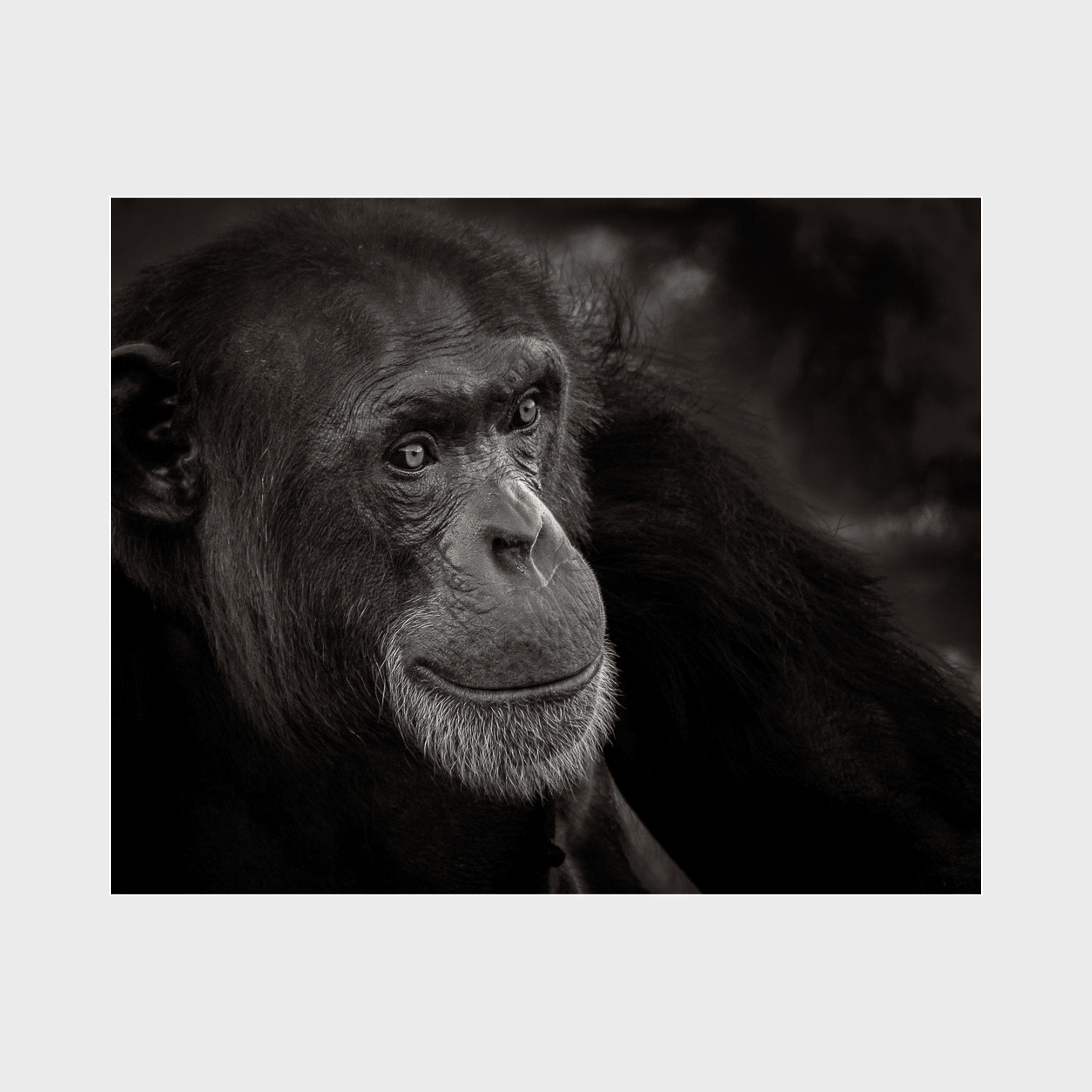 Chimpanzee-Award-3.jpg