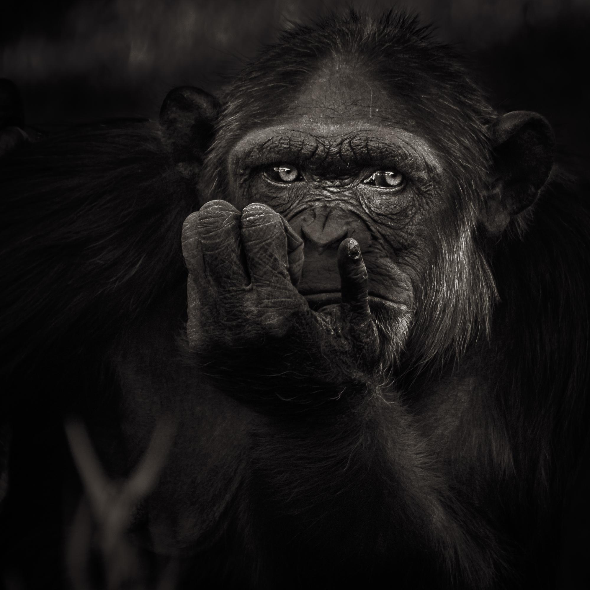 Chimp-thinking.jpg