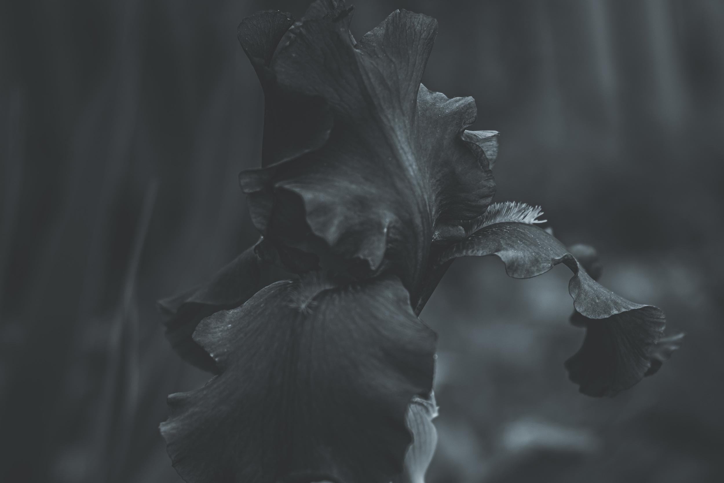 Black Iris #1