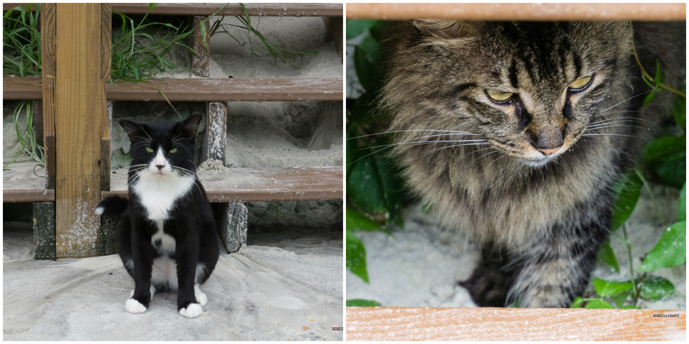 """""""Beach cats"""" (c) Rebecca LaChance, 2016, Panama CIty Beach, FL.  To the left we have """"the guardian of the stairs"""". Does anyone else hear Gandolf in their head, saying, """"You shall not pass!""""? To the right we have the invisible cat, as in """"you can't see me if I don't look at you."""" These fur buddies are part of the ambience. The personnel leave food and water out for them and a few others."""