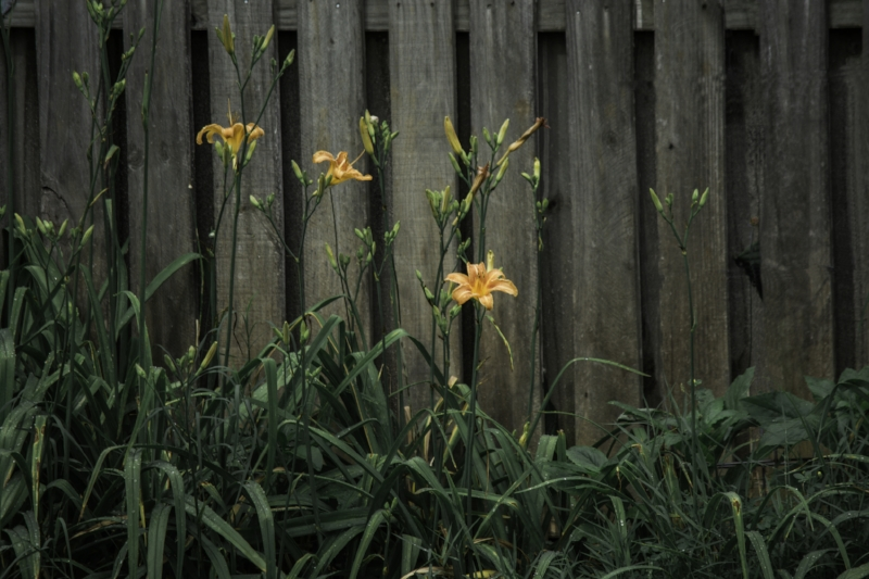"Sometimes the light falls in just the right way to highlight a subject.  It looked as if the Universal Spotlight was focused right on this lily. ""Abandoned Tigerlily"" (c) Rebecca LaChance, 2015, Thurmont, MD"